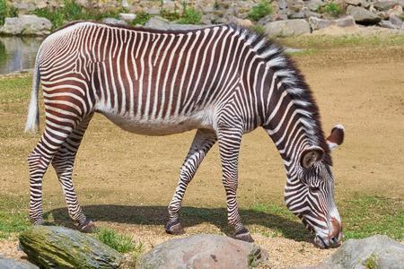 equid: Zebra (Equus Quagga) Feeding on Grass