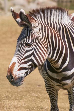 equid: Close up Portrait of Zebra (Equus Quagga) Stock Photo