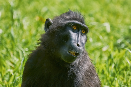 celebes: Portrait of Celebes Crested Macaque (Macaca nigra) Stock Photo