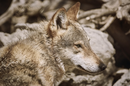 lupus: Portrait of Grey Wolf (Canis Lupus) Stock Photo