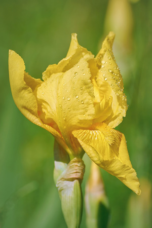 anthesis: Flower of an Yellow Iris with Water Drops
