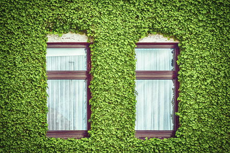 climbing frames: Windows in the Wall which is Fully Covered with Ivy