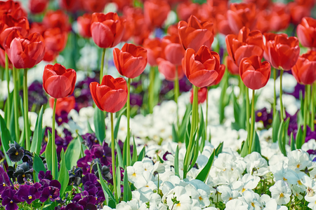 anthesis: Red Tulips among White and Dark Blue Pansies