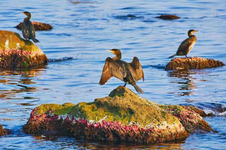 marine bird: Double-crested Cormorant on Rocks in the Black Sea