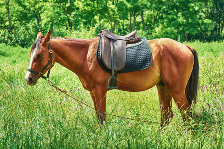 stirrup: Saddled Chestnut Horse with White Markings in the Field