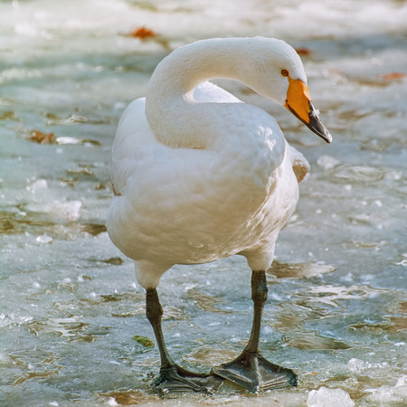 latticed: White Swan Stands on the Ice Stock Photo