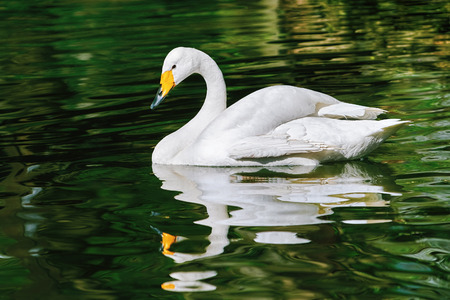black feathered: White Swan on Water Surface of the Pond