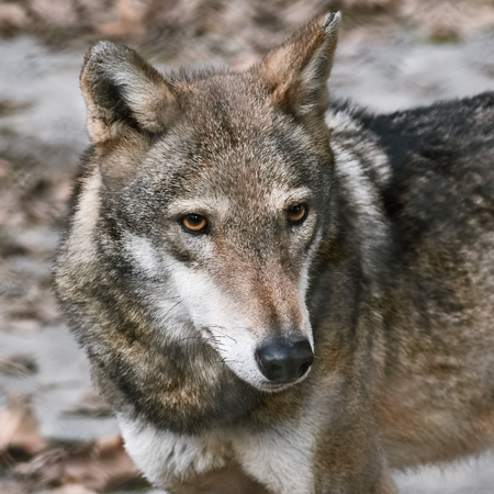 canid: Portrait of Grey Wolf (Canis Lupus) Stock Photo