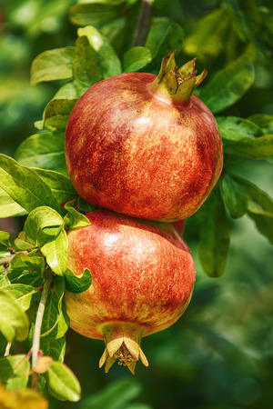 punica granatum: Two Mature Pomegranate Fruits on the Tree Stock Photo