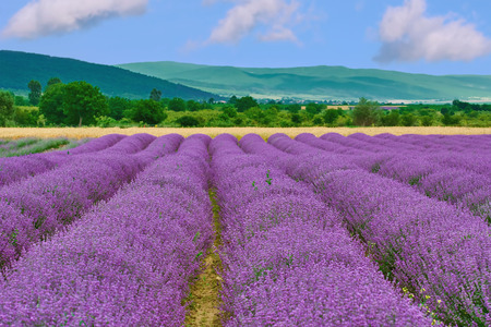 herbaceous: View on the Field of Lavender in Prosenik, Bulgaria