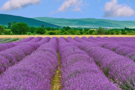 flowering field: View on the Field of Lavender in Prosenik, Bulgaria