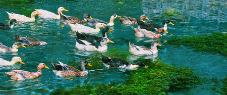 Ducks (Anas Platyrhynchos) Swimming Down the River Stock Photo