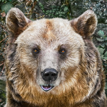 diurnal: Close Up Portrait of the Brown Bear