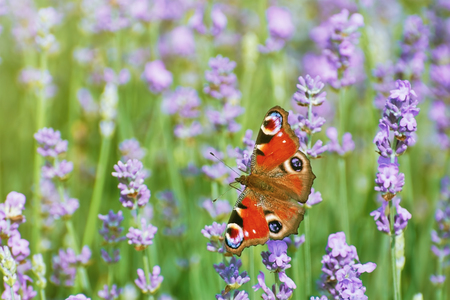 anthesis: Peacock Butterfly on the Lavender Flower
