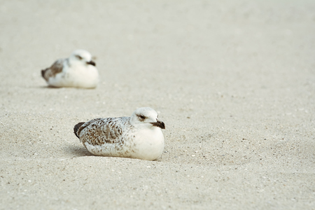 fledgling: Two Nestlings of Seagull Resting on the Sand