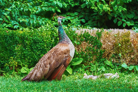 peahen: Peahen with Nestlings Resting in the Garden