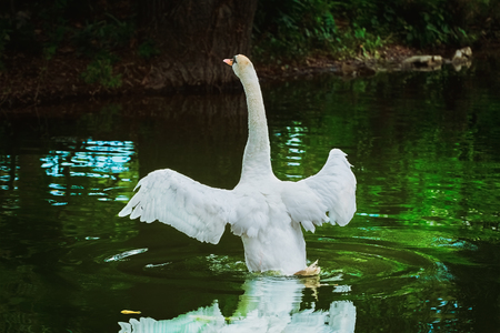 wingspread: Flying up White Swan on the Pond Stock Photo