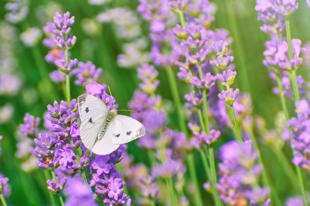 anthesis: Cabbage White Butterfly on the Lavender Flower Stock Photo