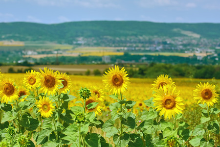 anthesis: Ripe Yellow Sunflowers in front of Hillside