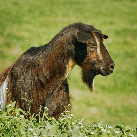 yeanling: Portrait of Black Billy Goat without Horns