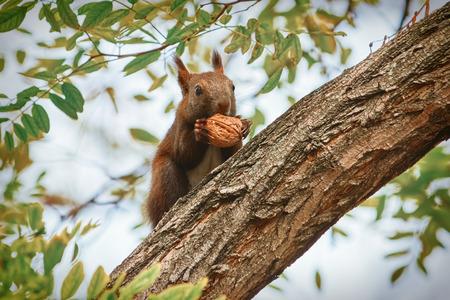 walnut: Squirrel Sitting on a Tree and Eats a Walnut