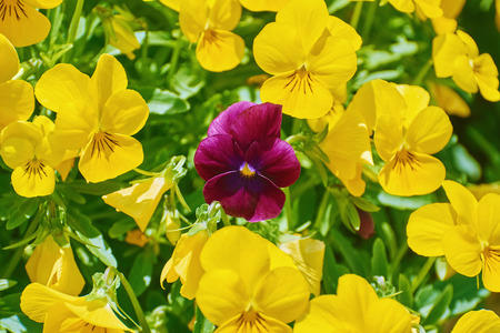 anthesis: Magenta Garden Pansy Flower among Yellow Ones Stock Photo