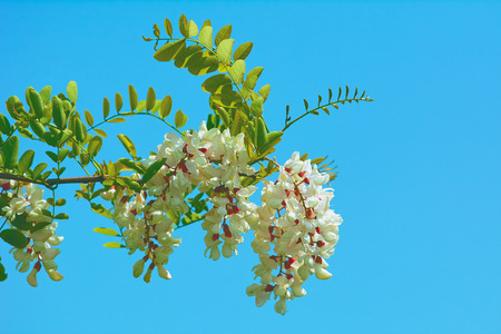 anthesis: Acacia Branch with Flowers against Blue Sky