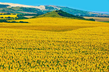 anthesis: Sunflowers Field in Varna District, Bulgaria Stock Photo