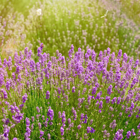 anthesis: Shrub of Lavender Flowers in Prosenik, Bulgaria Stock Photo