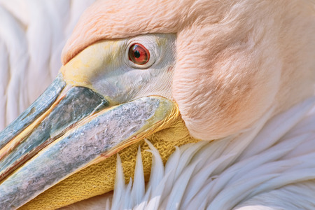 pelecanus: Close-up Portrait of Big Rosy Pelican (Pelecanus Onocrotalus)