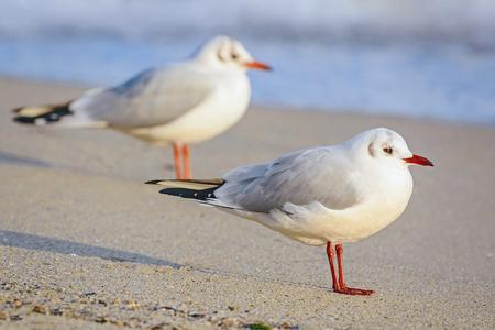 Seagulls on the Shore of Black Sea Stock Photo