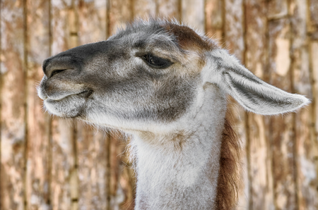 animal ear: Portrait of Llama against the Wooden Background