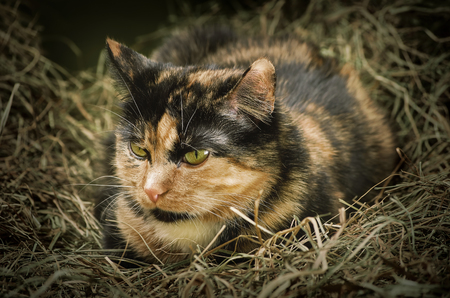 moggy: Outbred Domestic Cat Resting in the Hay