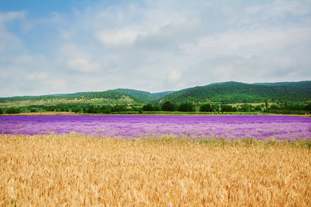 agricultural area: Agricultural Area of Lavender and Wheat Fields in Bulgaria Stock Photo
