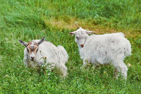 Two White Goatlings in the Green Grass