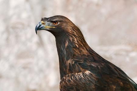 aigle royal: Close up Portrait de Golden Eagle (Aquila Chrysaetos Canadensis)