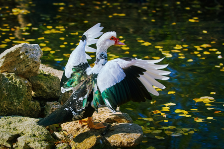 barndoor: Muscovy Duck Dries its Wings on the Bank of the Pond