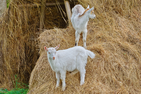 stock breeding: Two Goatlings on the Stack of a Hay