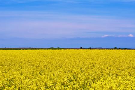 Field of Rapeseed in Romania Stock Photo