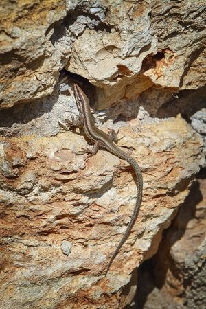 viviparous lizard: Viviparous Lizard (Lacerta Vivipara) on the Stone