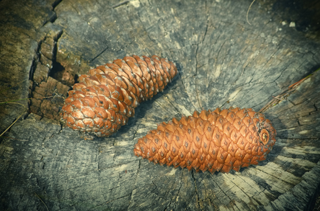 ecological environment: Two Fir Cones on the Stump