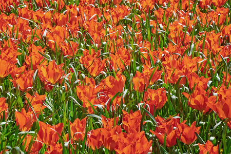 anthesis: Flowers of Red Tulips among the Green Grass Stock Photo