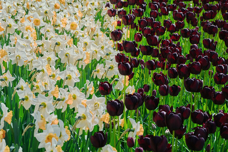 anthesis: Narcissuses and Tulips and Black Tulips Flower Bed