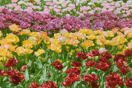 anthesis: Flower Bed of Different Kinds of Color Tulips Stock Photo