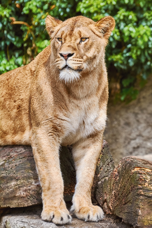 foreleg: Portrait of Lioness Lies on the Log