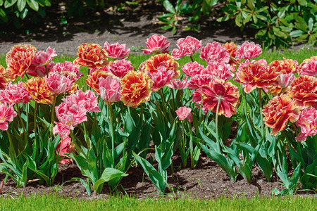 anthesis: Flowering Bed of Fringed Tulips in the Garden