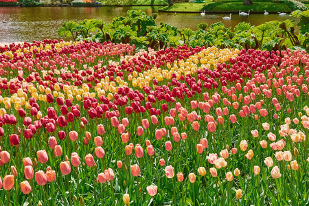anthesis: Flower Bed of Different  Kinds of Color Tulips