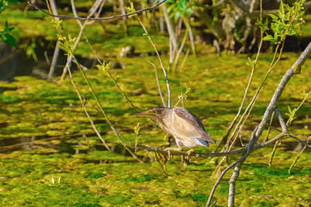 Little Bittern (Ixobrychus Minutus) in the Marsh