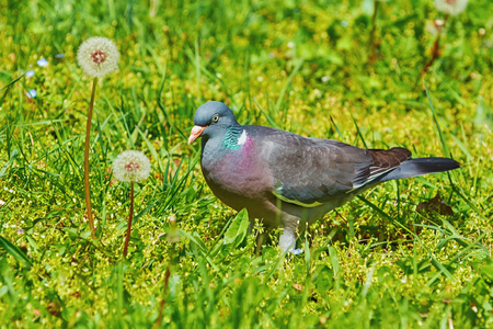 wood grass: Big Common Wood Pigeon in the Grass