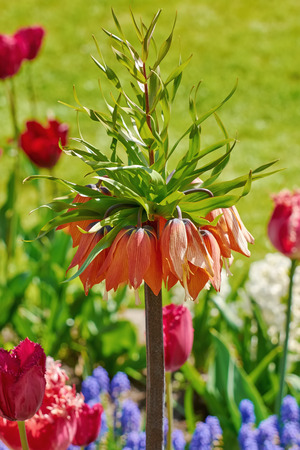 anthesis: Crown Imperial Flower (Fritillaria imperialis)